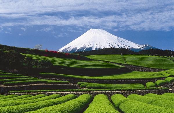 「靜岡 茶」的圖片搜尋結果